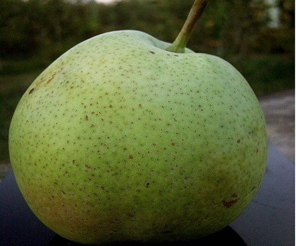 Груша «десертная россошанская»: описание и особенности обрезки