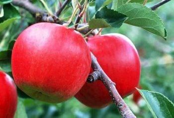 Сорта яблок: 90 фото описания выращивания и нюансы ухода
