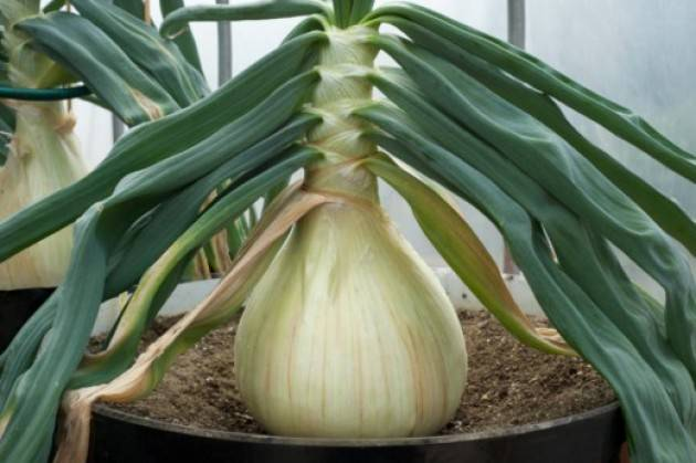 Выращивание лука эксибишен через рассаду, из семян: когда сажать репчатый овощ в домашних условиях, как вырастить за один сезон, как ухаживать и чем подкормить?