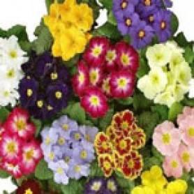 Цветы примула: сорта, посадка и уход
