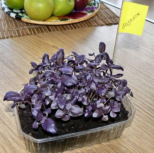 Как получать урожай круглый год: секреты выращивания базилика из семян и черенков