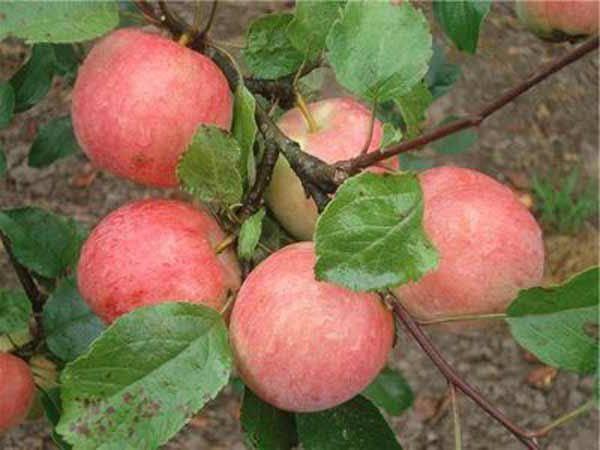 Яблоня услада отзывы садоводов | комнатные цветы