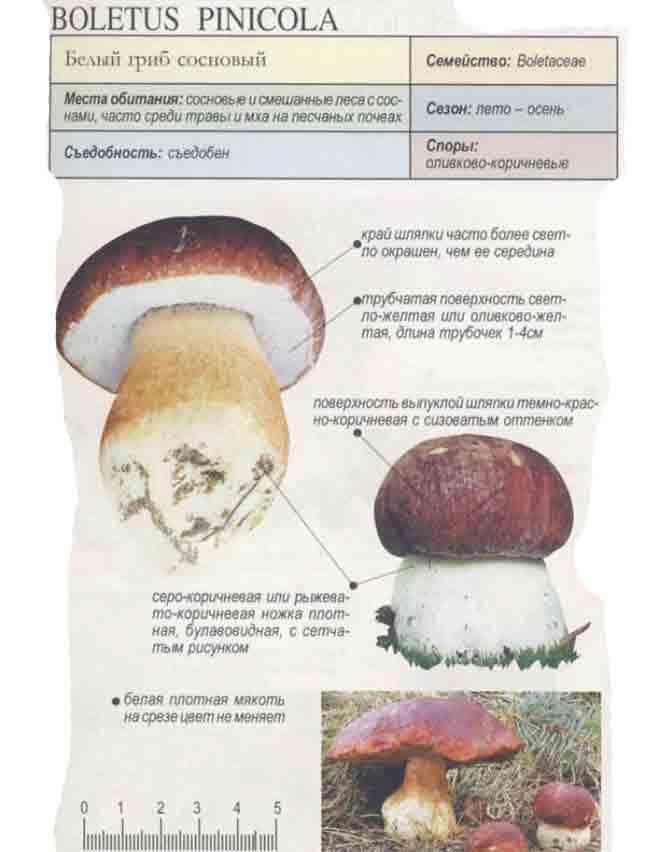 Белый гриб фото, где растет, описание, когда собирать.