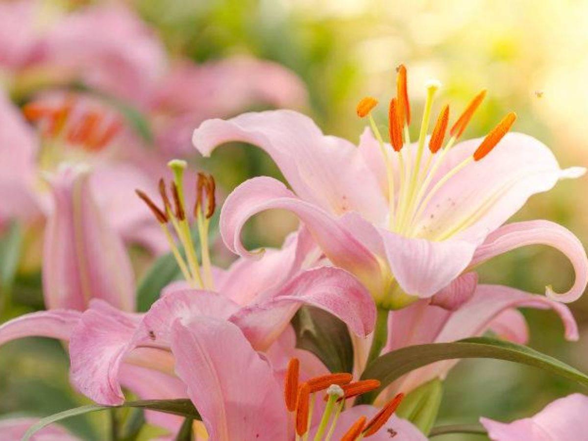 Когда пересаживать лилии на другое место: осенью или весной