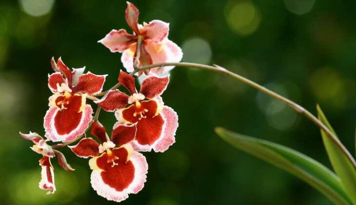 Онцидиум (34 фото): уход за орхидеей в домашних условиях, виды «свит шугар» и «желтый онцидиум», «твинкл ред фэнтези» и «попкорн харури»