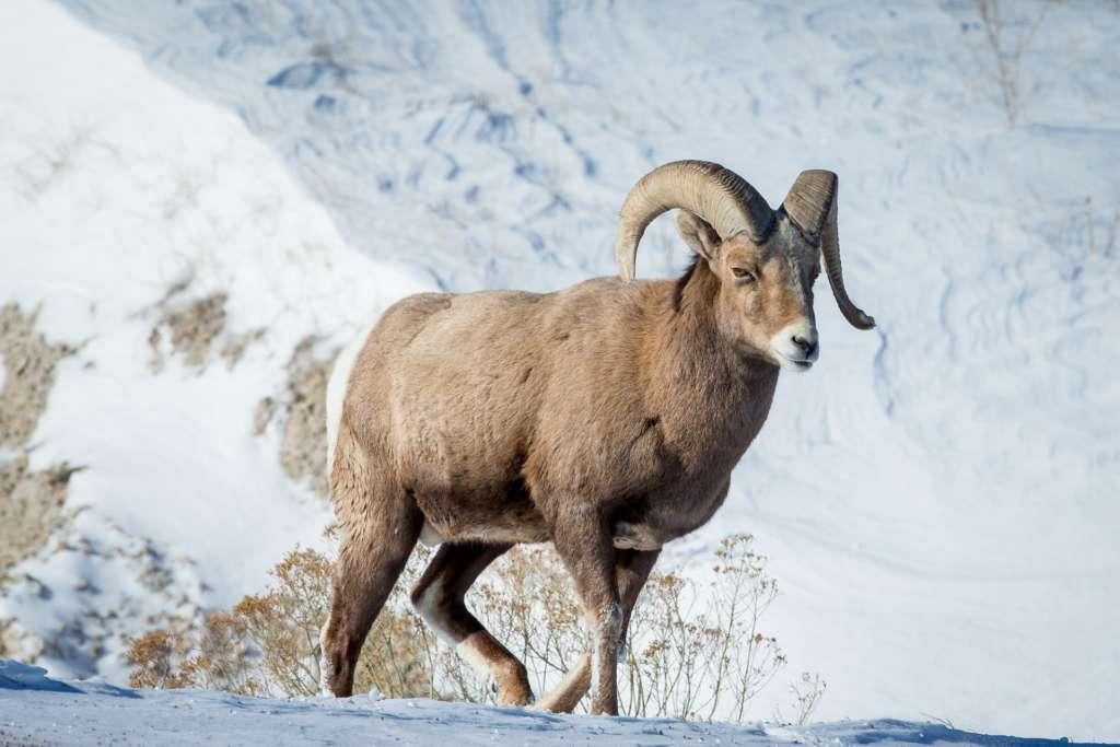 Снежный барс (ирбис): описание, среда обитания, чем питается