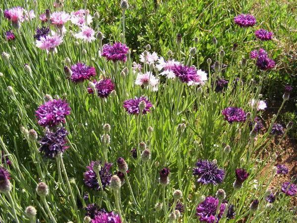 Василек махровый: выращивание из семян, когда сажать, как ухаживать