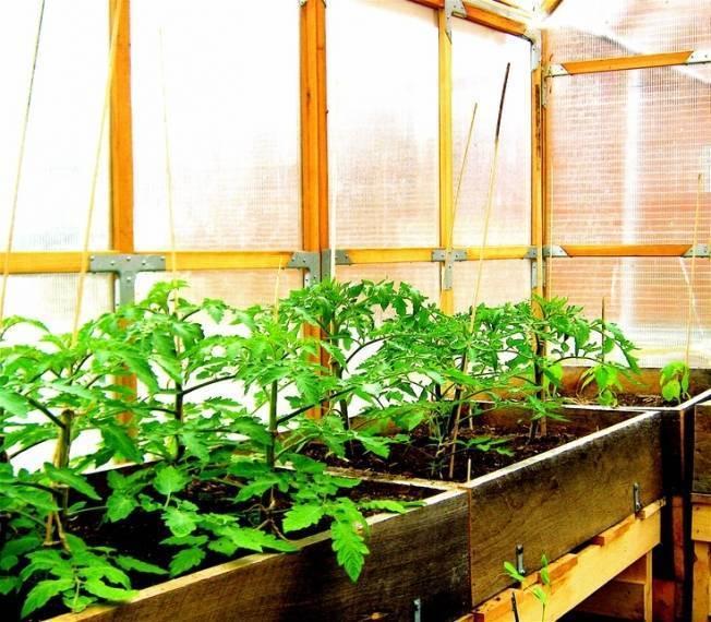 Рассада помидоров в теплице или парнике: как вырастить и каковы плюсы, минусы такого метода?