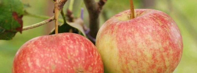 Яблоня раннее сладкое: описание и фото, а также отзывы садоводов