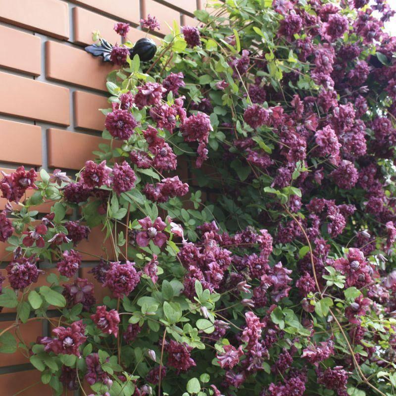 Клематис: пурпуреа плена элеганс - описание сорта, отзывы, уход и обрезка