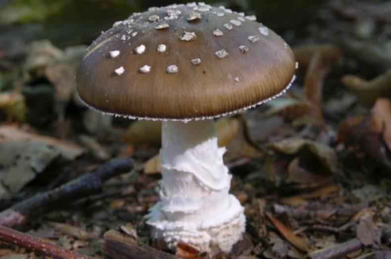 Подробная информация про пантерный мухомор - грибы собираем
