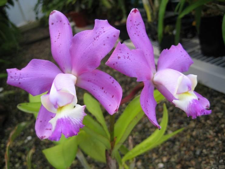 Орхидея каттлея: уход в домашних условиях, фото, размножение, пересадка