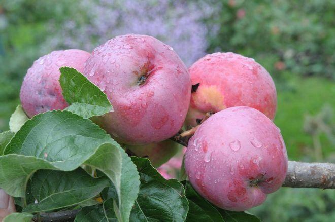 Яблоня подарок графскому: описание, фото, отзывы