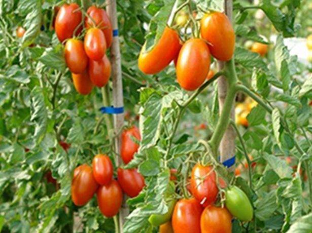 Томат маруся: описание сорта, фото, отзывы, характеристика, урожайность