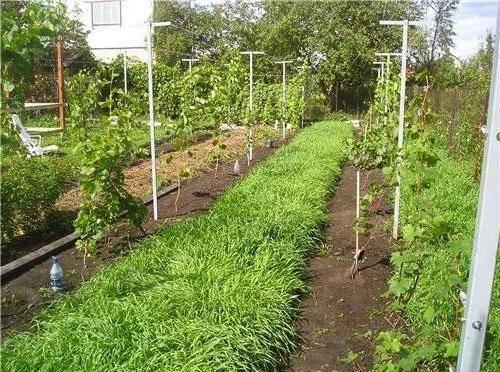 Лучшие сорта винограда для выращивания в подмосковье с описанием, характеристикой и отзывами