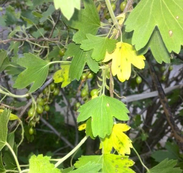 Почему желтеет смородина – что делать и чем полить