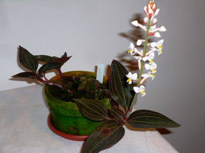 Уход за орхидеей лудизия в домашних условиях