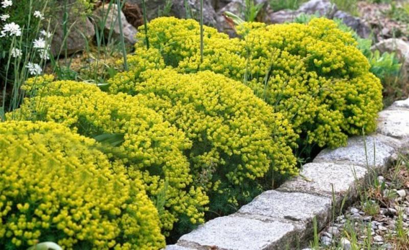 Молочай Многоцветковый — описание, правила ухода и размножения