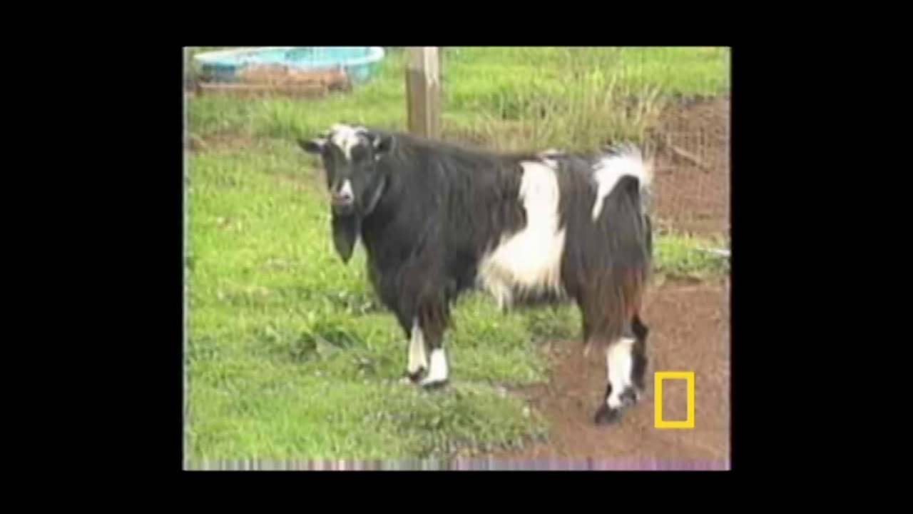 Почему козы падают в обморок при испуге: причины и особенности пород