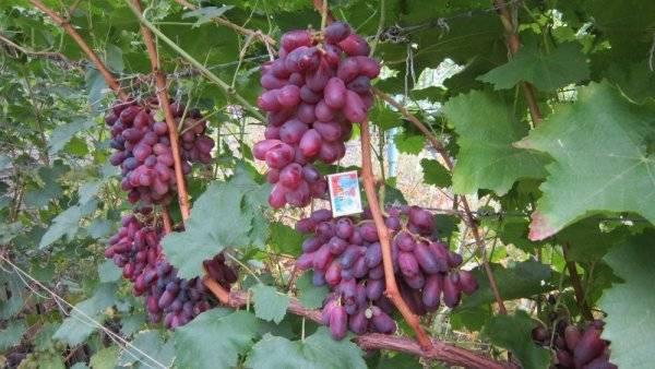 Виноград ризамат: описание сорта и его фото, особенности выращивания и характеристики selo.guru — интернет портал о сельском хозяйстве