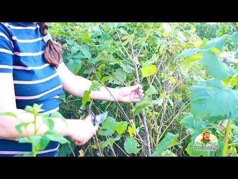 Правильная обрезка малины весной, чтобы был хороший урожай