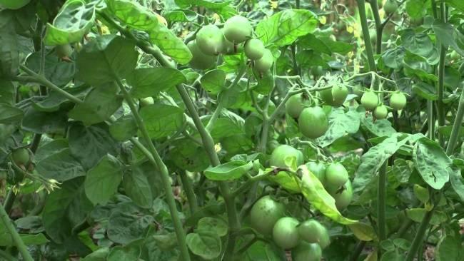 Жирование помидоров в теплице — причины и способы борьбы