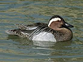 ✅ чирок: маленькая уточка, речной свистунок, характеристика и описание птицы - cvetochki-rostov-na-donu.ru