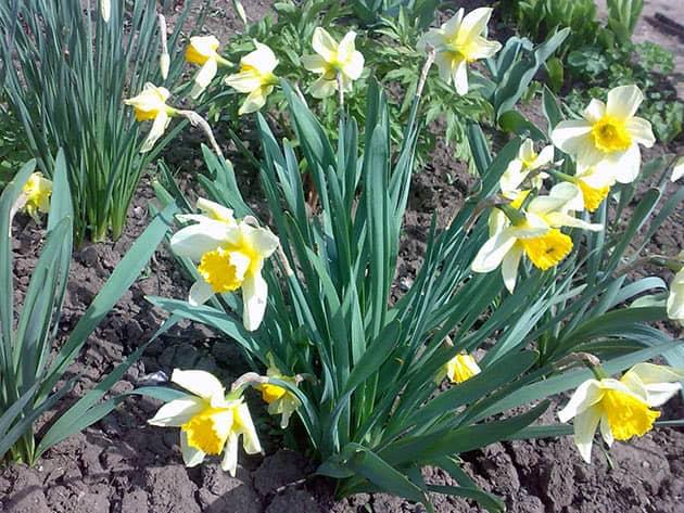Нарциссы после цветения. нарциссы отцвели в горшке, в саду