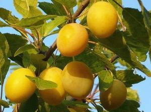 Что значит слива самобесплодная. слива желтая самоплодная | дачная жизнь