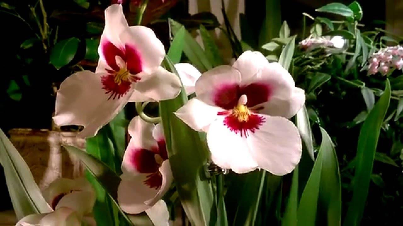 Орхидея мильтония - уход в домашних условиях, пересадка, болезни, фото