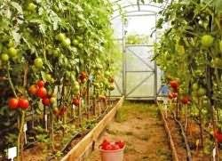 Чем подкормить помидоры во время цветения и плодоношения в теплице фото видео