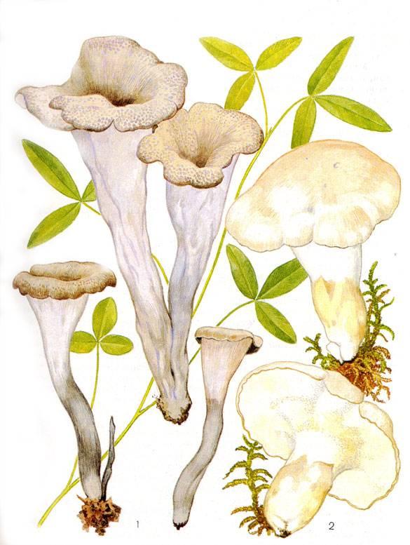 Необычные грибы. вороночник | лесная кладовая