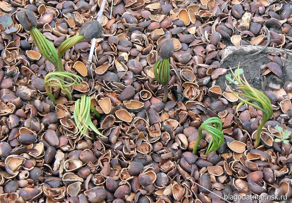 Как вырастить кедр из орешка в домашних условиях. как прорастить орех