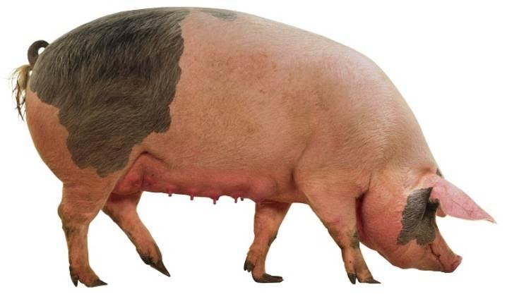 Размножение свиней: признаки охоты, подготовка, отбор кандидатов