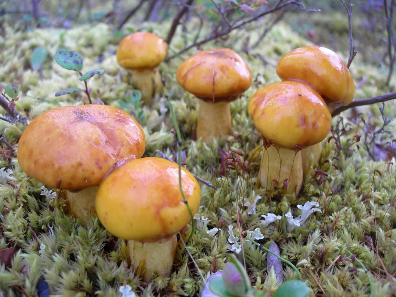 Ложный белый гриб: фото и описание, как отличить боровика от желчного и других двойников
