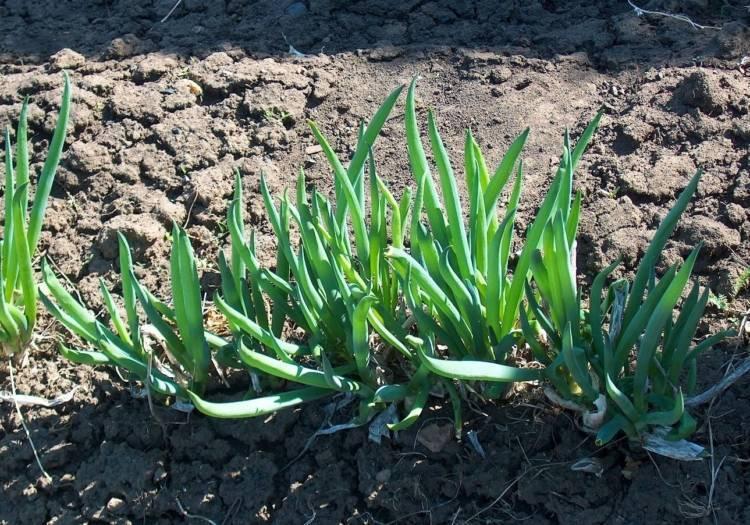 Выращивание лука-батуна | cельхозпортал