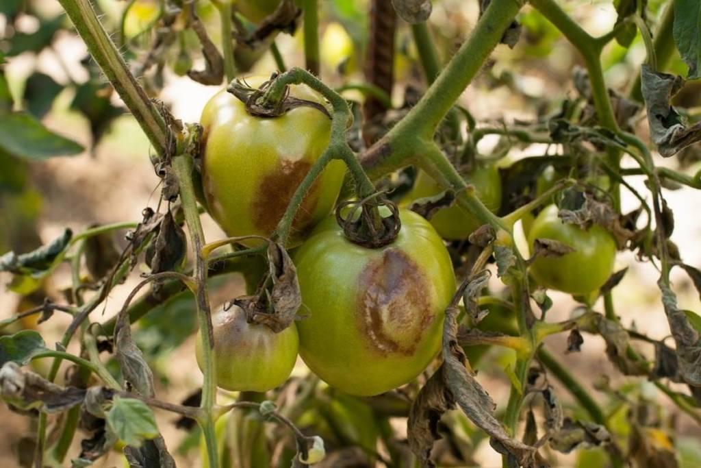 Описание фузариозного увядания томатов: признаки, причины и способы лечения заболевания