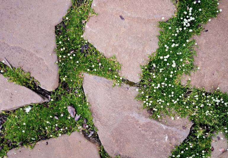 Мшанка шиловидная посадка и уход в открытом грунте, фото