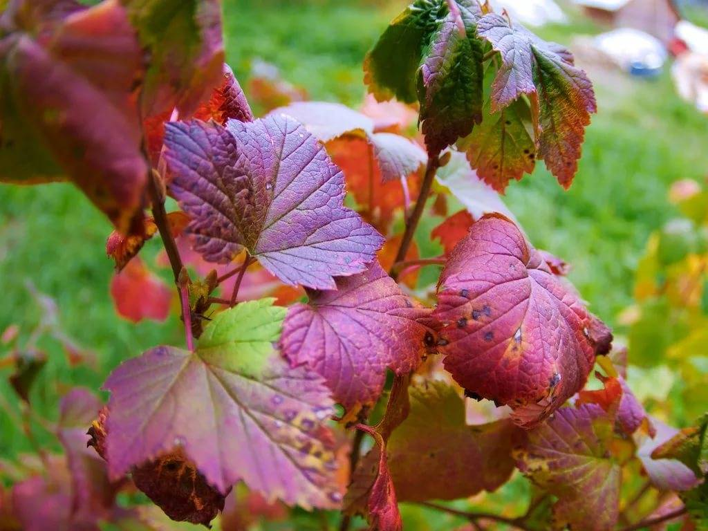 Подкормка смородины осенью: сроки, виды, дозировка | заготовки на зиму