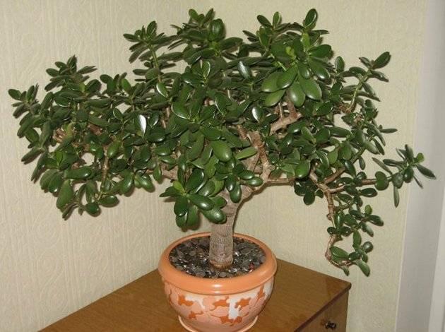 Посадка отростка денежного дерева или толстянки: как рассадить, в какую землю