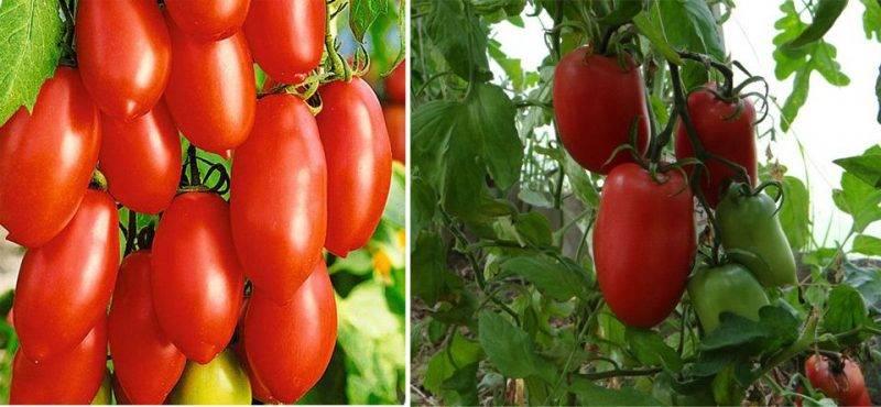 Томат - кенигсберг: отзывы, фото, урожайность сорта