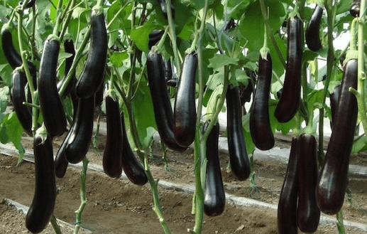 Формирование баклажанов – получите гарантированный урожай!