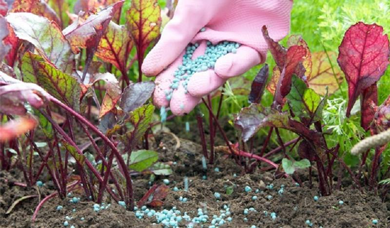 Чем удобрять свеклу в открытом грунте для хорошего урожая