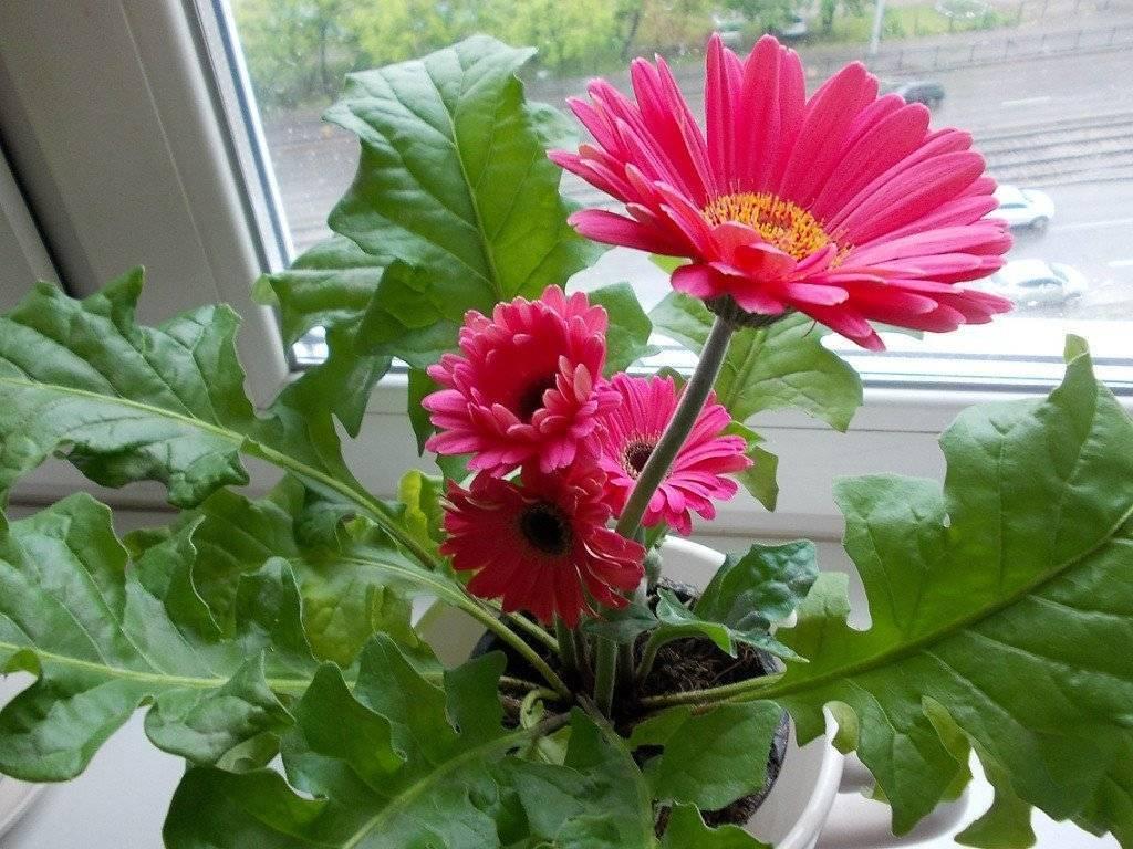 Выращивание герберы из семян в домашних условиях (15 фото): как вырастить герберу джемсона, посадка и посев на рассаду