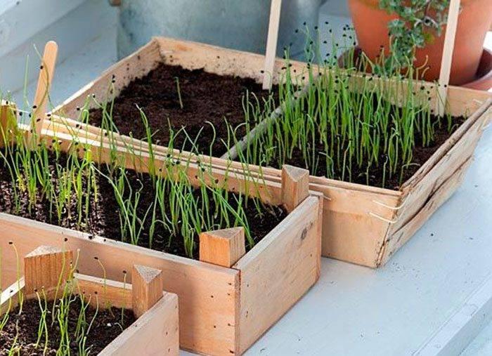 Лук батун выращивание из семян