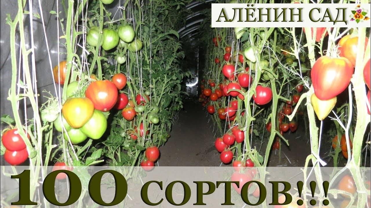 Томат классик f1 описание сорта отзывы - журнал садовода ryazanameli.ru