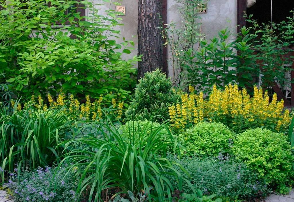 Вьющиеся растения в тени многолетние. многолетние вьющиеся растения для сада | дачная жизнь