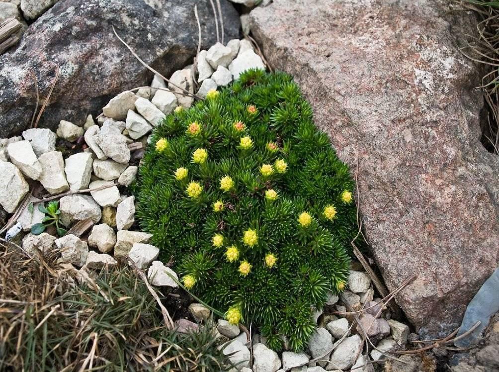 Камнеломка - 83 фото разновидностей и основных качеств травы