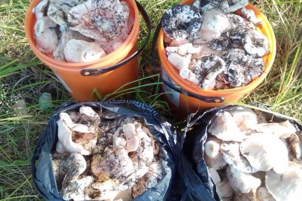 В каких лесах растут грибы грузди: видео, где искать белые и черные грузди