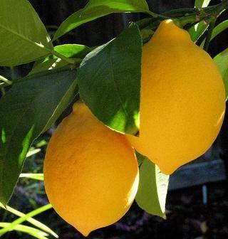 Лимон лисбон: описание сорта